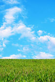 Green wheat field against a beautiful blue sky — Stock Photo