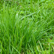 Lawn grass — Stock Photo #3138370