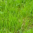 Lawn grass — Stock Photo #3149515