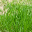 Lawn grass — Stock Photo #3151634