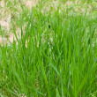 Stock Photo: Lawn grass