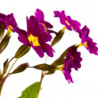 Flowers Primula — Stock Photo