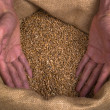 Wheat grain man hands - Stock Photo