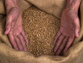 Wheat grain man hands — Stock Photo