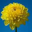Stock Photo: Yellow Dahlia and Blue Sky