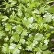Stock Photo: Cilantro Herb Leaves
