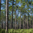 Pines and Saw Palmettos — Stock Photo