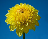 Yellow Dahlia and Blue Sky — Stock Photo
