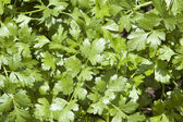 Cilantro Herb Leaves — Stock Photo