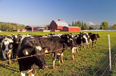 Dairy Cattle, Red Barn and Mount Rainier — Stock Photo