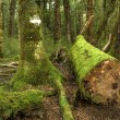 Stock Photo: Mossy Forest