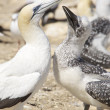 Australian Gannets — Stock Photo