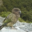 Kea Bird - Stock Photo