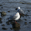 Stock Photo: Two Seagulls