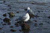 Two Seagulls — Stock Photo
