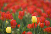 Bright Tulips Growing In Spring Garden — Stock Photo