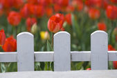 Red Tulips Behind White Fence — Stock Photo
