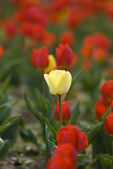 Single Yellow Tulip in Field of Red — Stock Photo