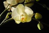Fresh orchid — Stock Photo