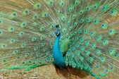 Beautiful peacock — Stock Photo