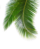 Green palm leaf — Photo