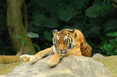 Tiger resting. — Stock Photo