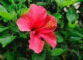 Chinese Hibisci Rosae-Sinensi — Stock Photo