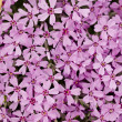 Phlox in full frame — Stock Photo