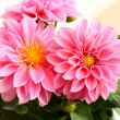Two dahlias — Stock Photo #3138901