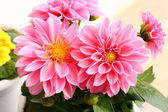 Two dahlias — Stock Photo