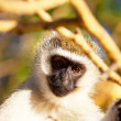 Monkey — Stock Photo #2969096