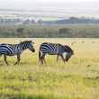 Zebra — Stock Photo #3034460
