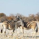 zebra — Stok fotoğraf #3034723
