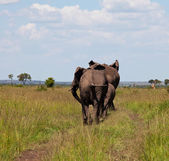 Elephants in savannah — Stock Photo