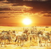 Zebra 's — Stockfoto