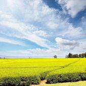 Piantagione di tè — Foto Stock