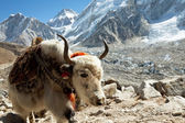 Yak in mountains — Stock Photo