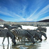 Zebras on waterhole — Stockfoto