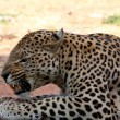 Stock Photo: Leopard