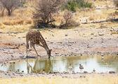 Drinking giraffe — Stock Photo