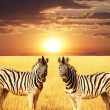 Zebra — Stock Photo #3098621