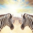 Zebra on sunset - Stock Photo