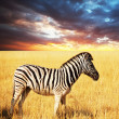 Zebra — Stock Photo #3129238