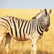 Zebra — Stock Photo #3150775