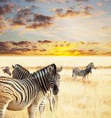 Zebras — Stok fotoğraf