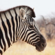 Zebra — Stock Photo #3362455