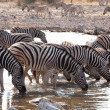 Zebras — Stock Photo #3362456