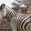 Zebras — Stock Photo #3405436