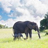 Elefante — Foto Stock