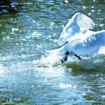 Swan — Stock Photo #3878461